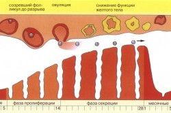 Менструальний цикл