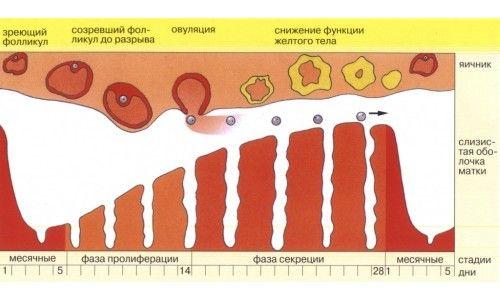 Схема менструального циклу жінки