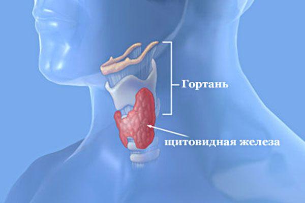 Де знаходиться щитовидна залоза в організмі людини