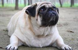 Гіпертиреоз у собак і у кішок: що це таке?