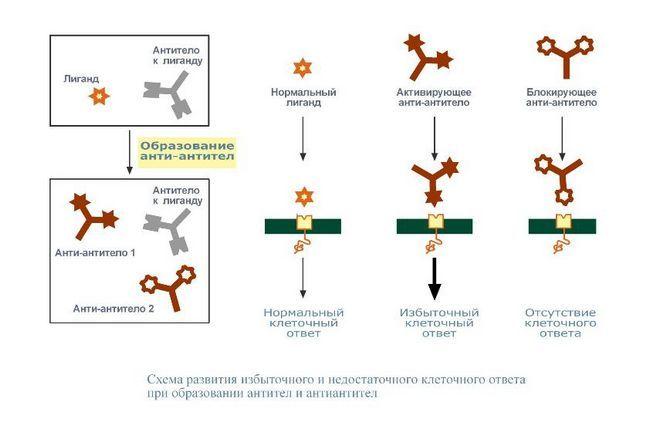 схема аобразованій антитіл