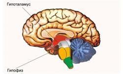 Гіпоталамус і гіпофіз