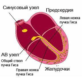 робота провідної системи серця, позначені її ключові компоненти