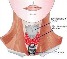 Нормальна щитовидна залоза