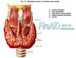 Як здати аналізи на гормони щитовидної залози