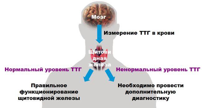 Яка норма ттг гормону