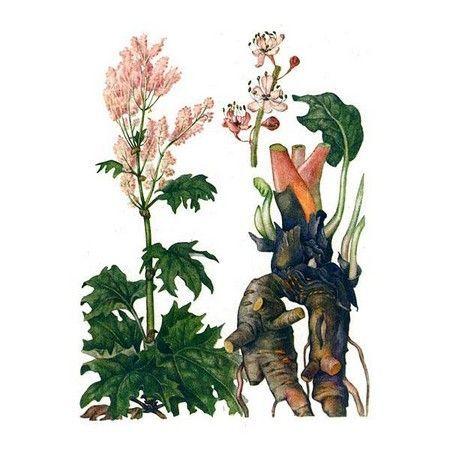 корінь рослини