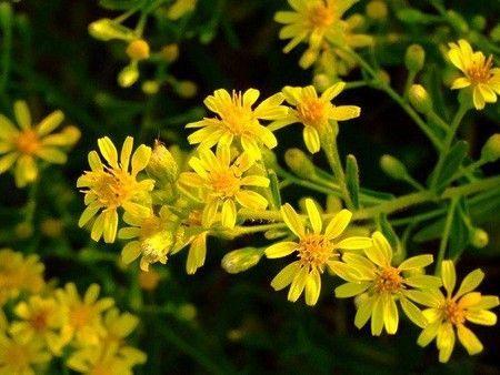 квіти оману