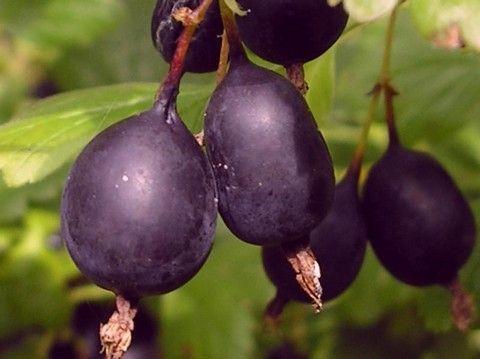 Агрус «чорний негус» - корисний для здоров`я і смачний на столі!