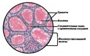 Клітини щитовидної залози
