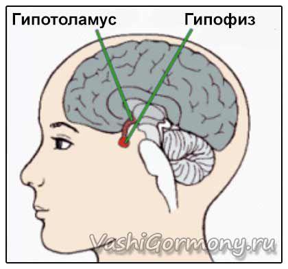 Схема розташування гіпоталамуса і гіпофіза