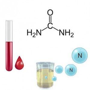 Сечовина в крові і сечі: норма і відхилення, чим небезпечне підвищення, як скорегувати