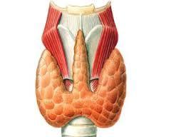 норма щитовидки