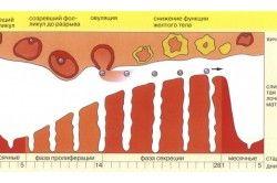 Менструальний цикл жінки