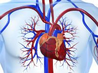 Серце і судини