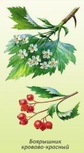квітки і плоди глоду