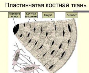 Пластинчаста кісткова тканина - це найпоширеніший вид кісткової тканини в організмі людини