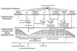 Фази менструального циклу
