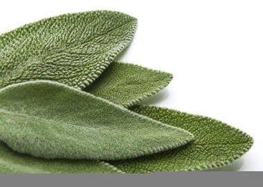листя шавлії
