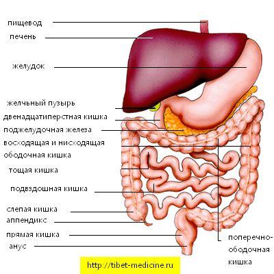 Внутрішні органи шлунково-кишкового тракту