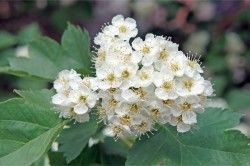 Користь плодів і квітів глоду при клімаксі