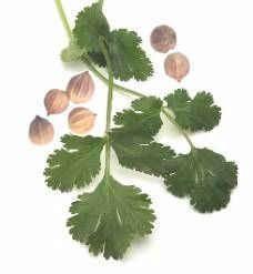 Пряна зелень, насіння і приправа: корисні властивості та протипоказання коріандру для здоров`я і довголіття