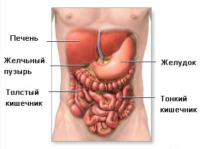 Органи шлунково-кишкового тракту