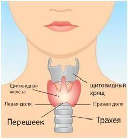 Розмір щитовидної залози, патологія і норма основних часток і перешийка