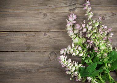 квіти шавлії