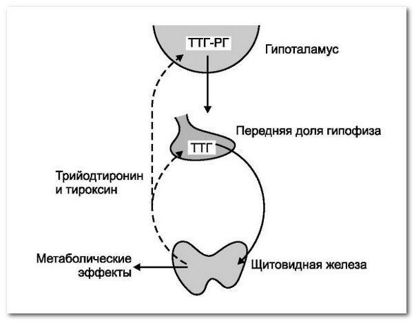 тиреотропний гормон ТТГ