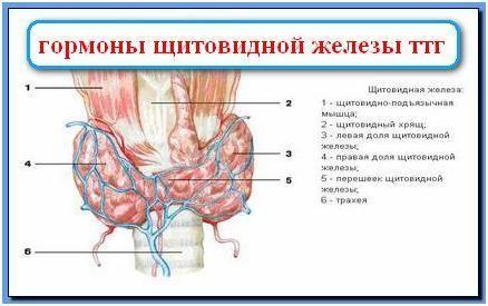 Тиреотропного гормону або ттг знижений: що це значить для людини