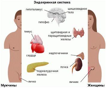 Залози і параганглій ендокринної системи: види, функції та особливості органів