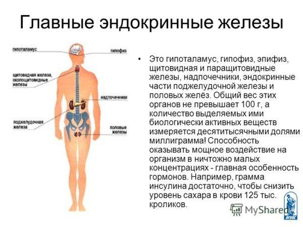 Головні ендокринні залози