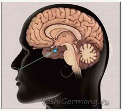 Значення гіпофіза і його гормонів для організму людини